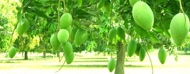 bengal mango forest_336