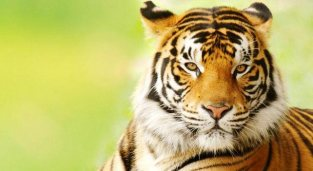bengal-tiger-fierce-view