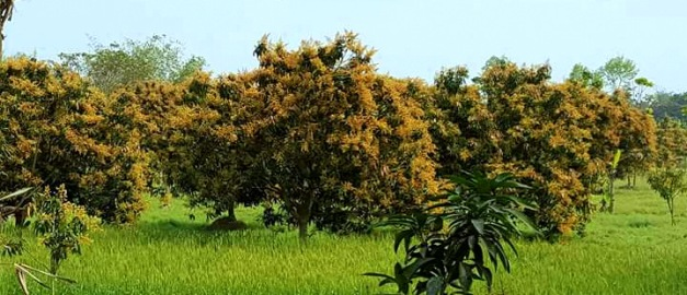 Mango trees ready - Copy