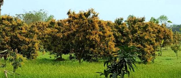 Mango trees ready - Copy